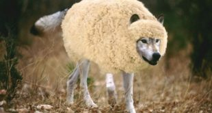 wolf-in-sheeps-clothing11